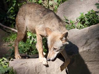 Wolf in der Fasanerie Wiesbaden © Milestoned