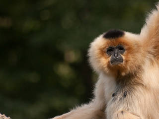 Ein lässiger Gibbon © Leszek.Leszczynski