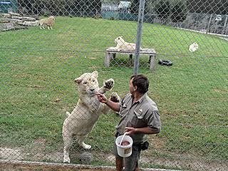 Fütterung der weißen Löwen im Mogo Zoo. © Mountain/Ash