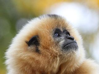 Der Gibbon